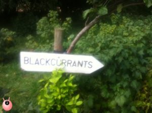 blackcurrants_sign
