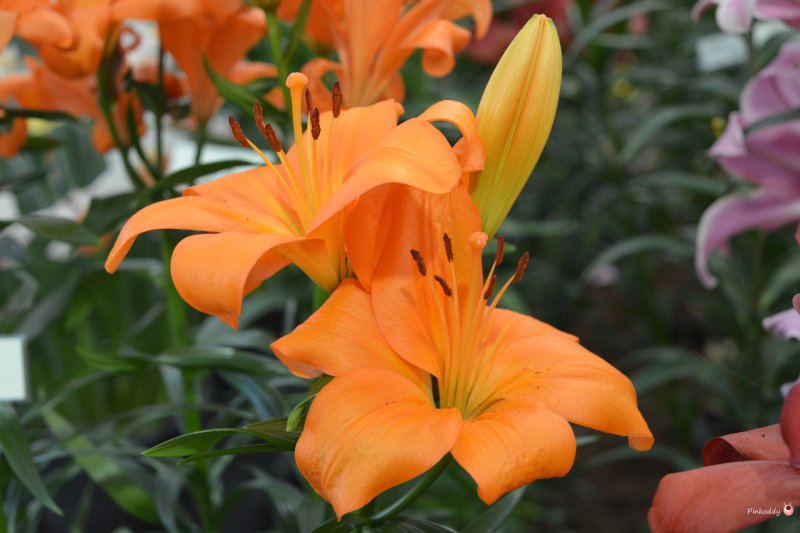 Prange Lillies