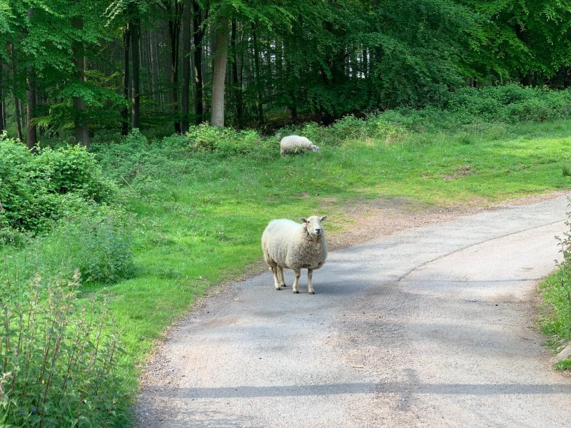 sheep in the road in front of a forest