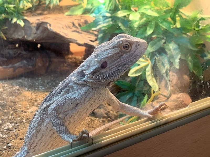 Bearded Dragon – Our Son's First Pet