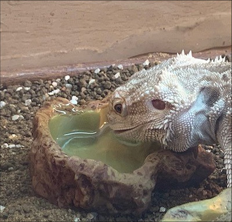 Bearded Dragon drinking from water bowl